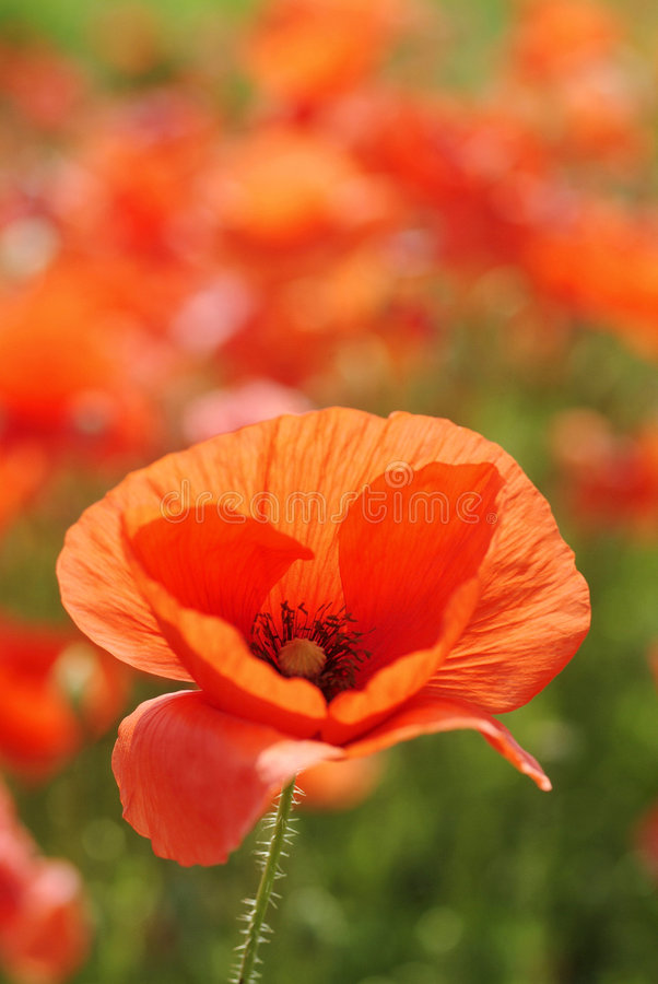 Free Red Poppy Stock Photos - 2250463