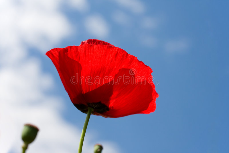 Download Red poppy stock photo. Image of season, beautiful, summer - 6862104