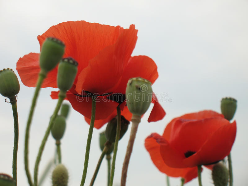 Download Red poppy stock image. Image of pasture, seeds, poppies - 9822051