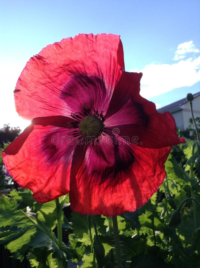 A red poppy against a blue sky. Red flower in the sun royalty free stock photo
