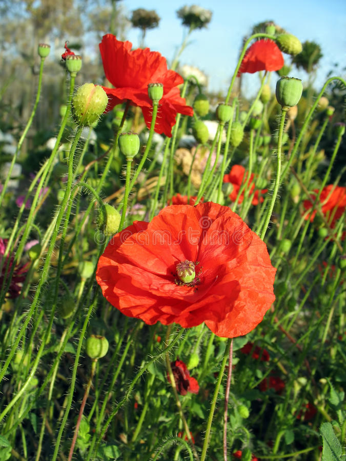 Red poppy against green grass and blue sky stock photography
