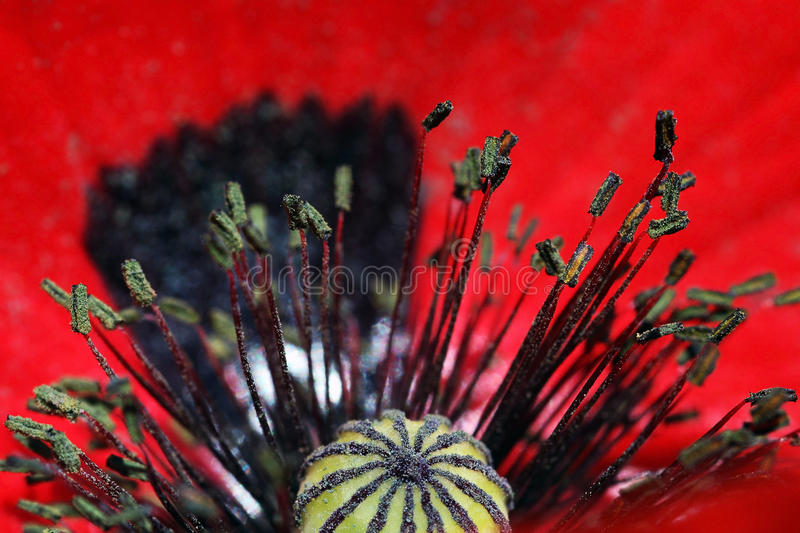 Download A red poppy blossom stock image. Image of field, garden - 27283125