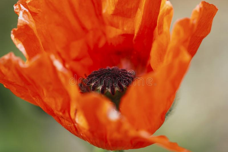 Red poppy blossom detail stock image
