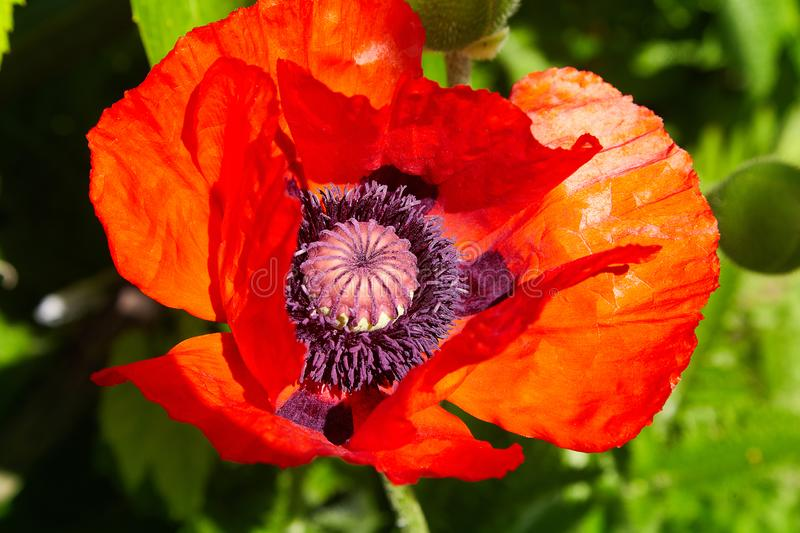 Red poppy blossom on wild field with selective focus. stock image