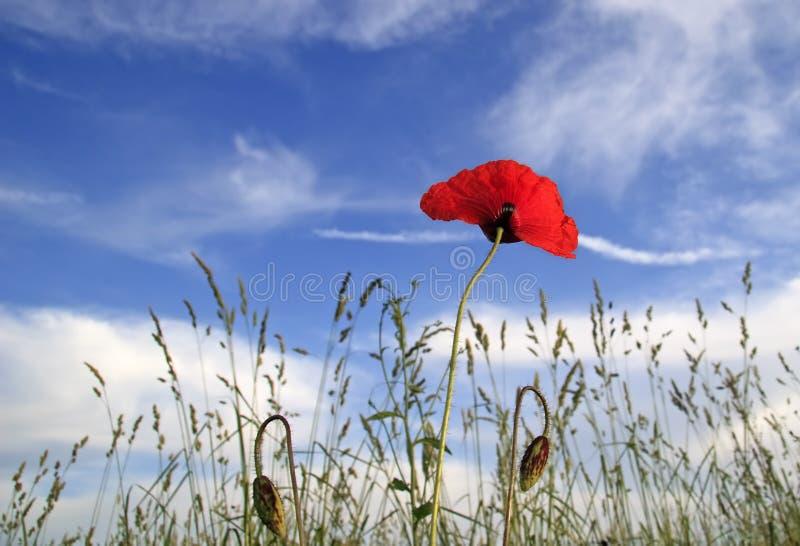 Red poppy on blue sky stock photos