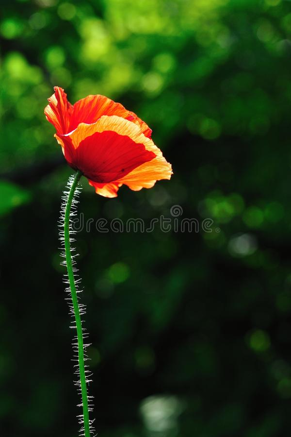 Red poppy with blurred green natural background royalty free stock images