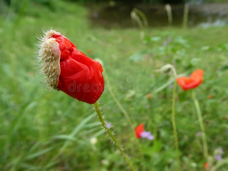 Red poppy bud is about to bloom royalty free stock photography