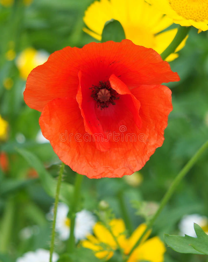 A red poppy close up in a meadow full of wild flowers stock photos