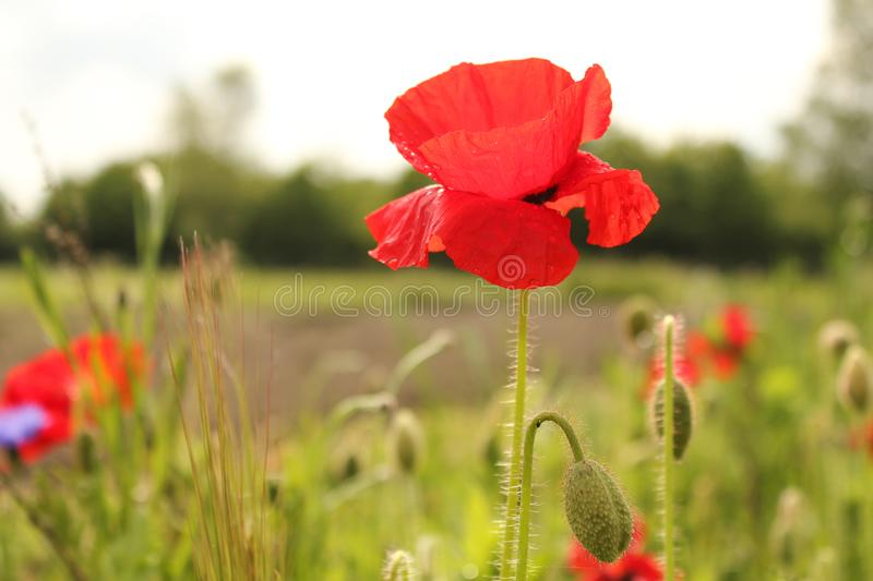 A red poppy closeup in a field margin in the countryside in springtime royalty free stock photos