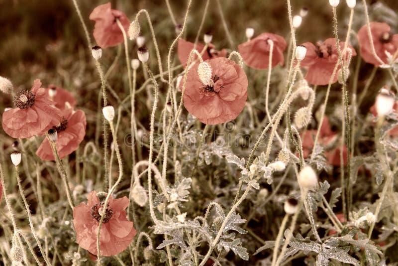 Red poppy closeup on sepia background royalty free stock photos