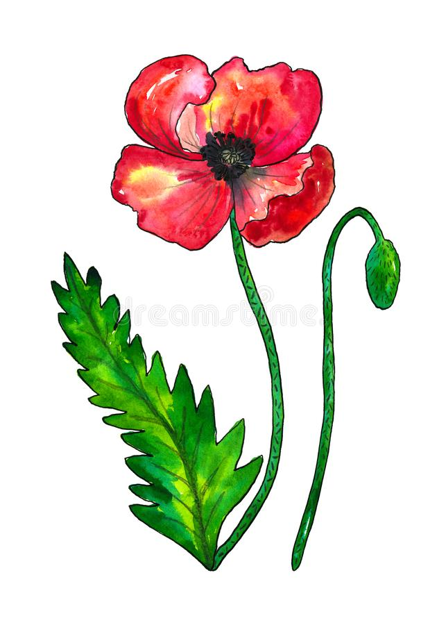 Red poppy. Colorful flower and green leaf. Watercolor hand drawn illustration isolated on white background stock illustration