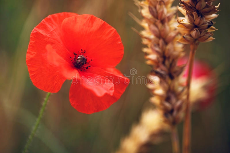 Red Poppy, Corn Poppies - Remembrance Day