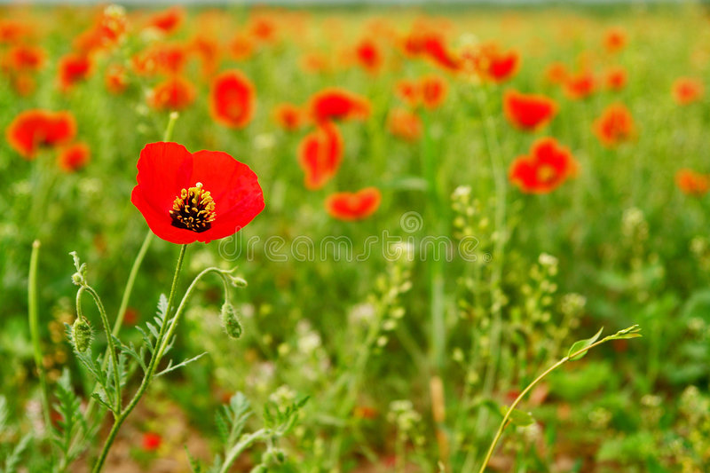 Download Red Poppy Field Royalty Free Stock Photo - Image: 6853355