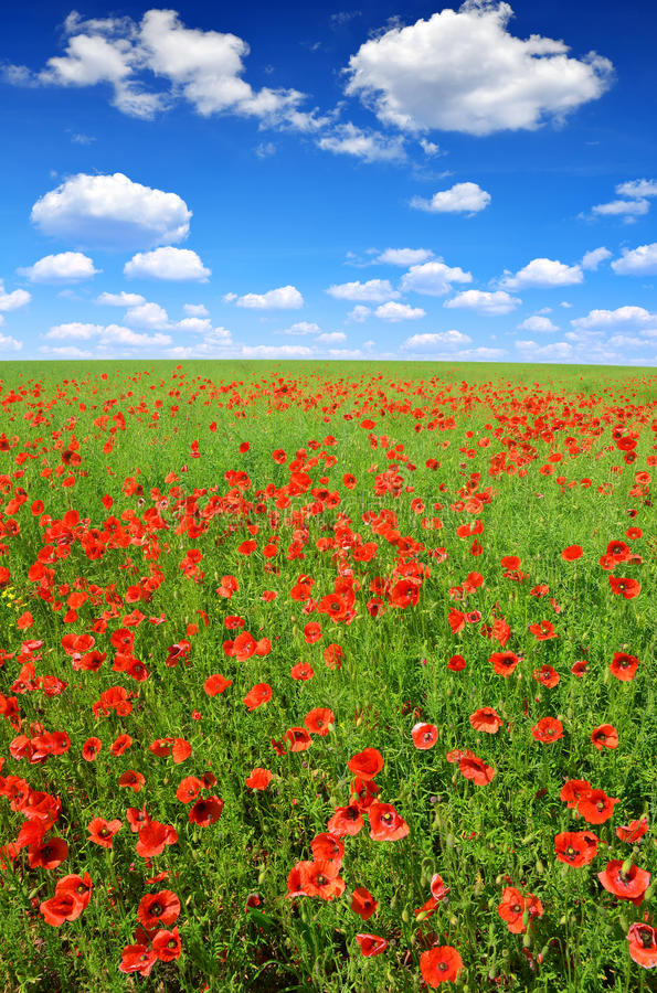 Download Red poppy field stock image. Image of opium, summer, blooming - 39239885