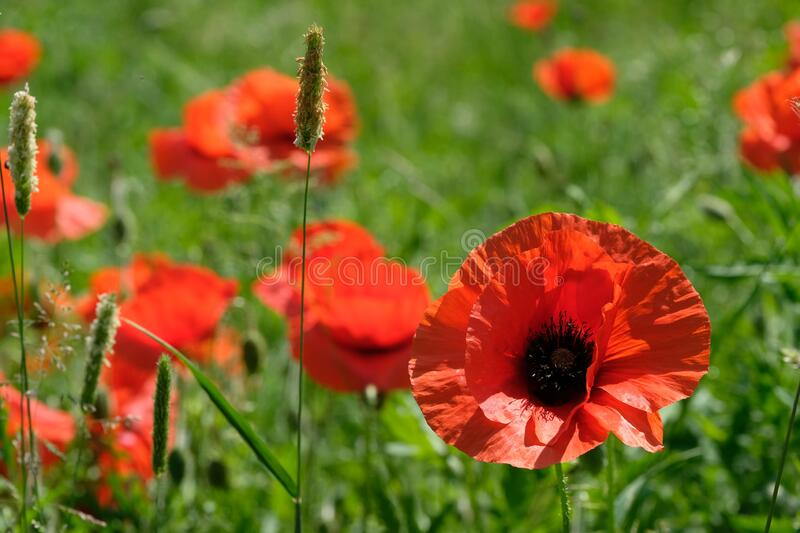 Red poppies in field stock images