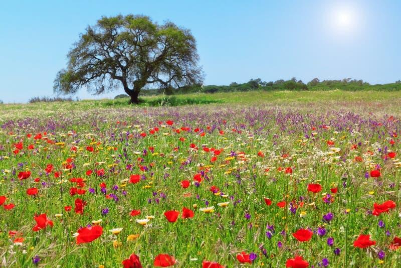 Red poppy field . royalty free stock photos