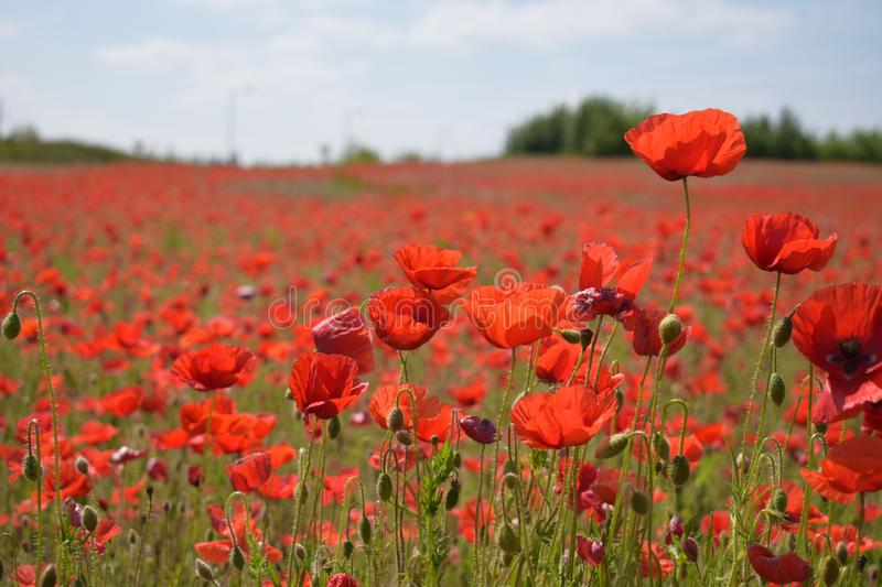 Red poppy field in the summer royalty free stock image