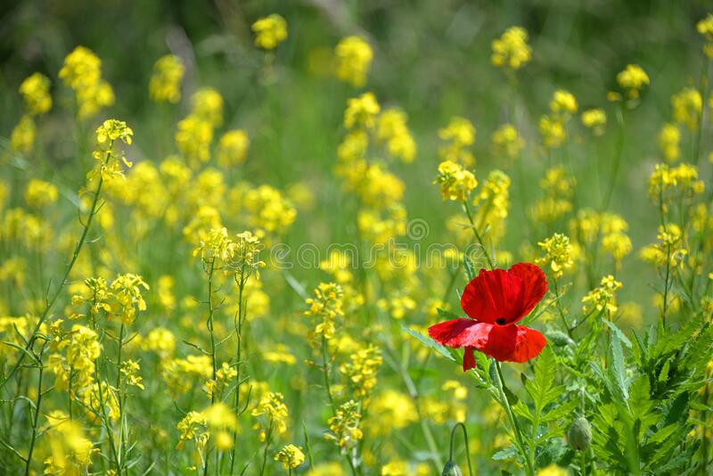 Red poppy in field of rapeseed stock photos