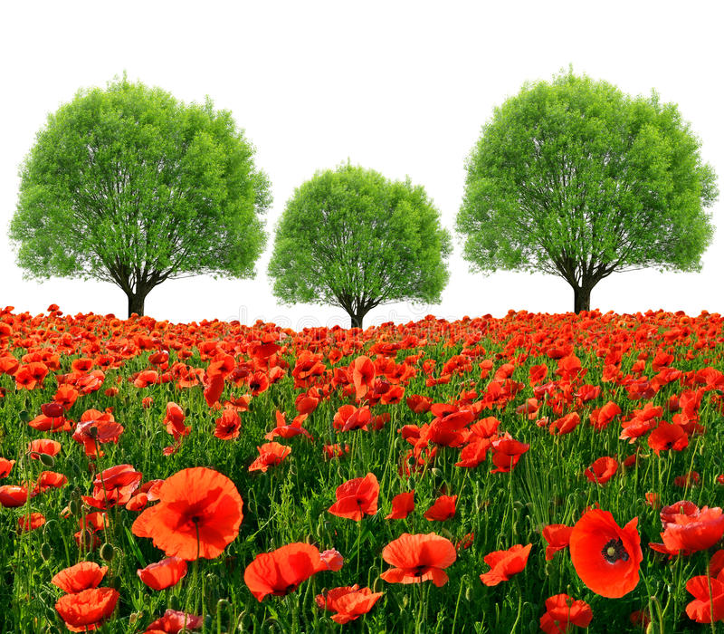 Download Red poppy field stock photo. Image of herbage, natural - 43260996