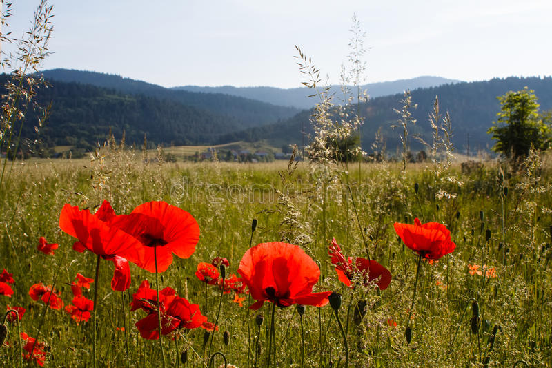 Red poppy fields and other green gras in mountains in countryside in Croatia. Red poppy fields and different green grass in mountains in countryside in Croatia stock photography