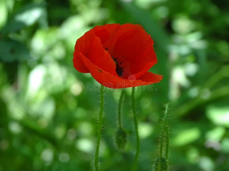 Red poppy in flora royalty free stock photo