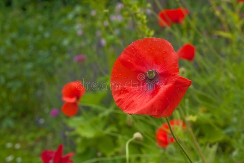 Red poppy flower stock photos