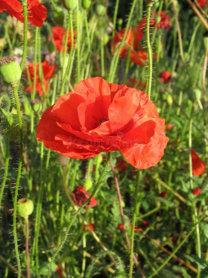 Red poppy flower against green grass royalty free stock image