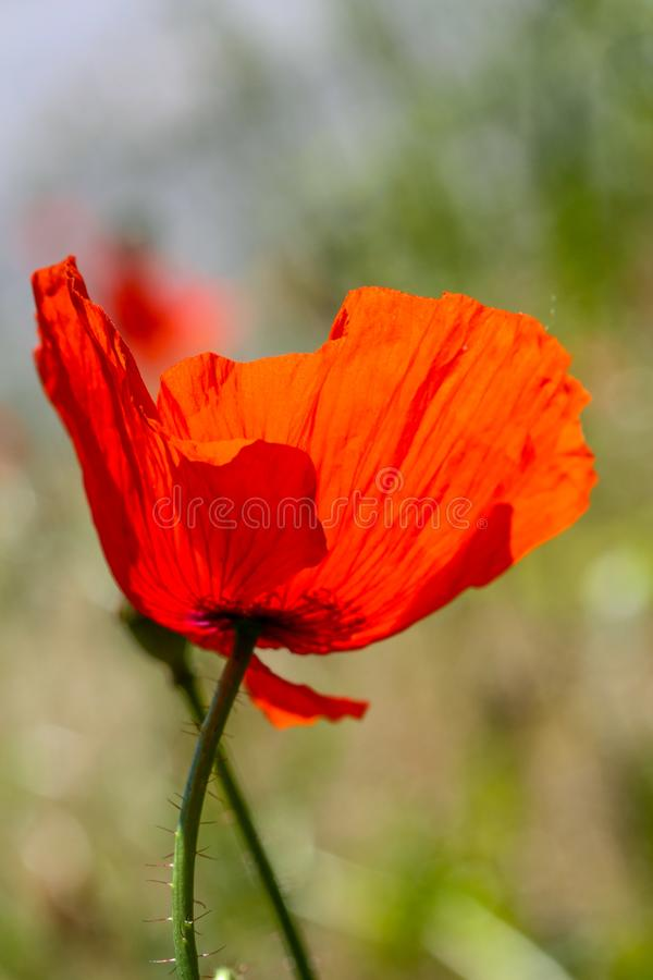 Red poppy flower in backlit. In summer stock photos