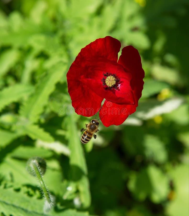 Red Poppy flower royalty free stock photos