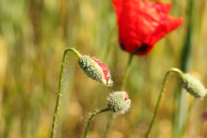 Red poppy flower bud stock photography