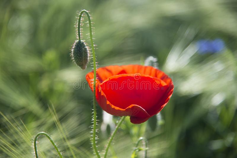Red poppy flower with a bud stock photography