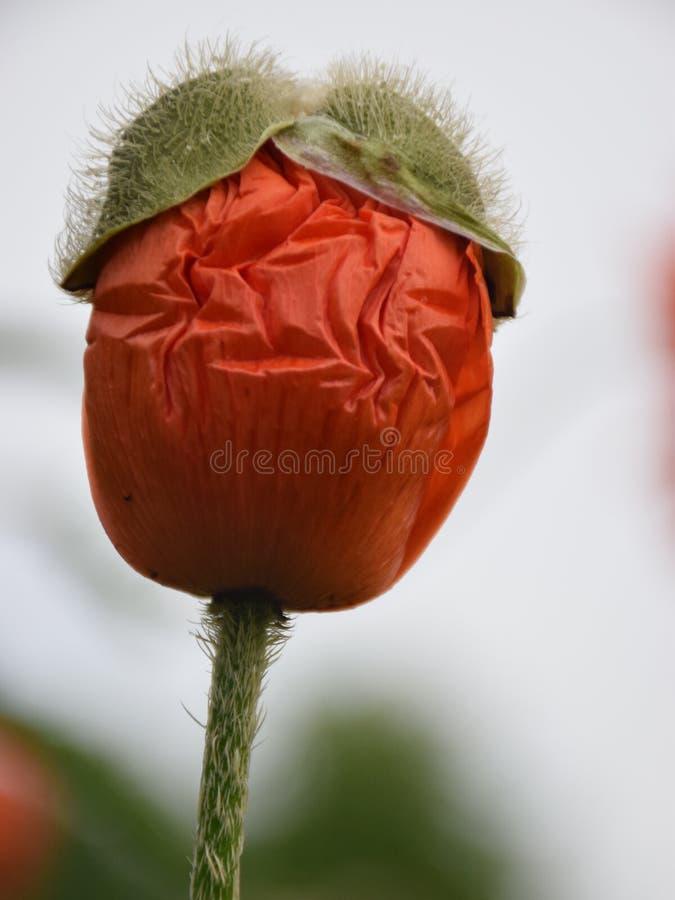 Red poppy flower bud stock photo