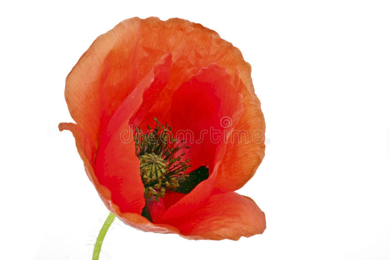 Download Red poppy flower close up stock photo. Image of garden - 30174716