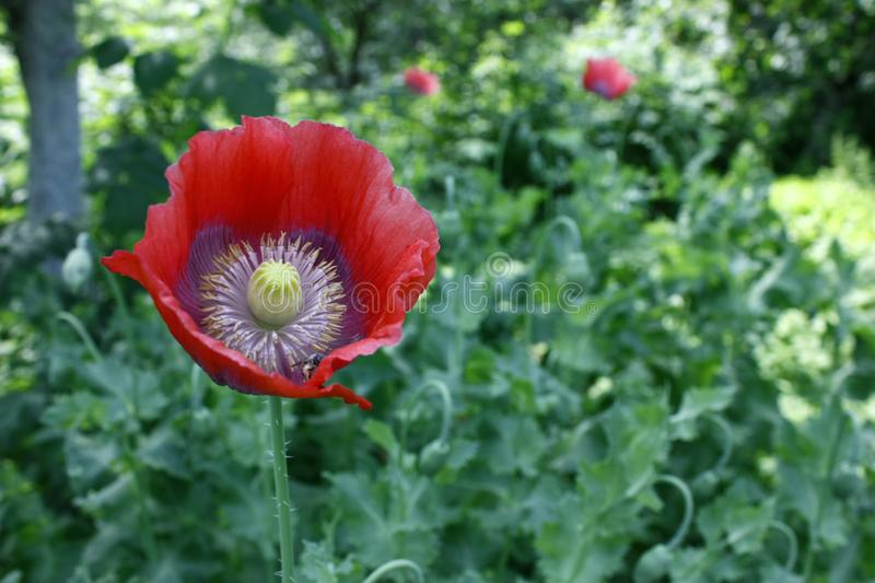 Red poppy flower closeup on green blurred background royalty free stock photography
