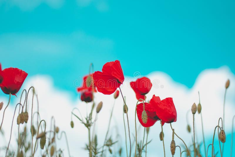 Red poppy flower in field. Blooms, designs, skies, seasons, greens, petals, blossoms, stems, days, colors, backgrounds, fields, meadows, gardens, landscapes royalty free stock photo