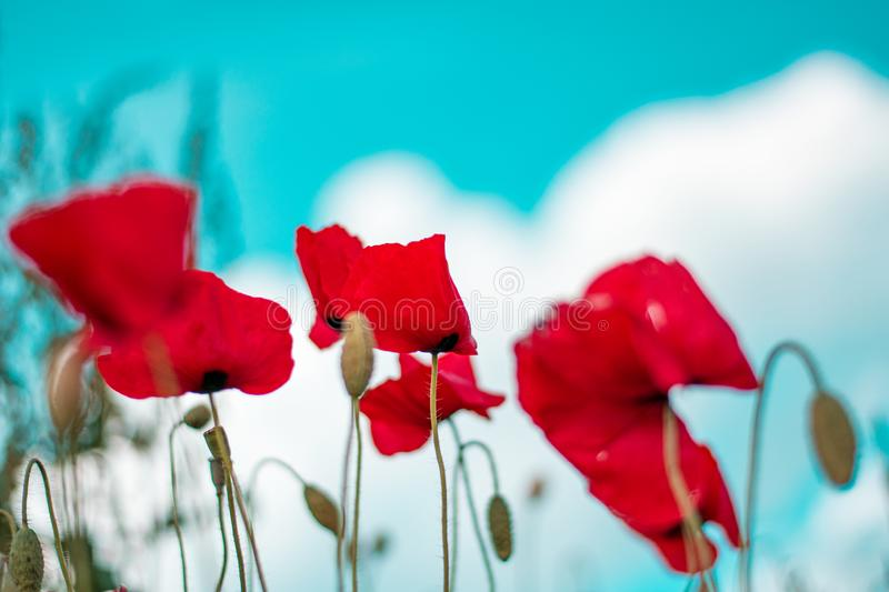 Red poppy flower in field. Blooms, designs, skies, seasons, greens, petals, blossoms, stems, days, colors, backgrounds, fields, meadows, gardens, landscapes stock photos