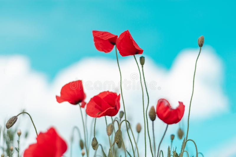 Red poppy flower in field. Blooms, designs, skies, seasons, greens, petals, blossoms, stems, days, colors, backgrounds, fields, meadows, gardens, landscapes royalty free stock image