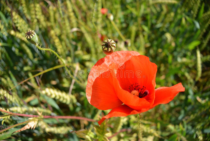 Red poppy flower in a field of green wheat stock photo