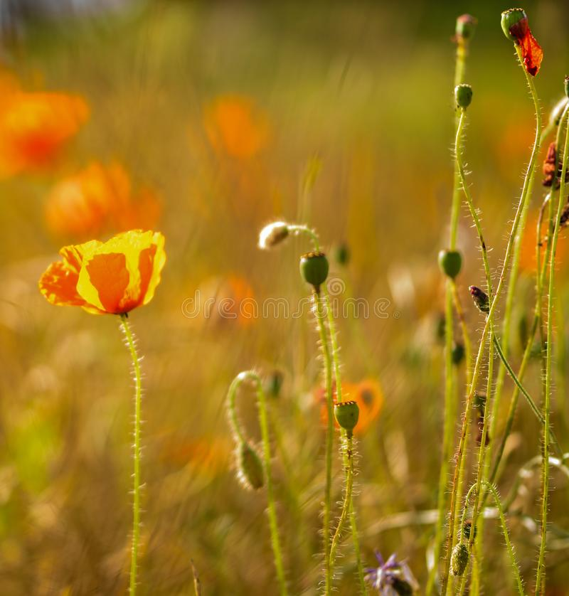 Red poppy flower on a field shot against the sun. stock photography