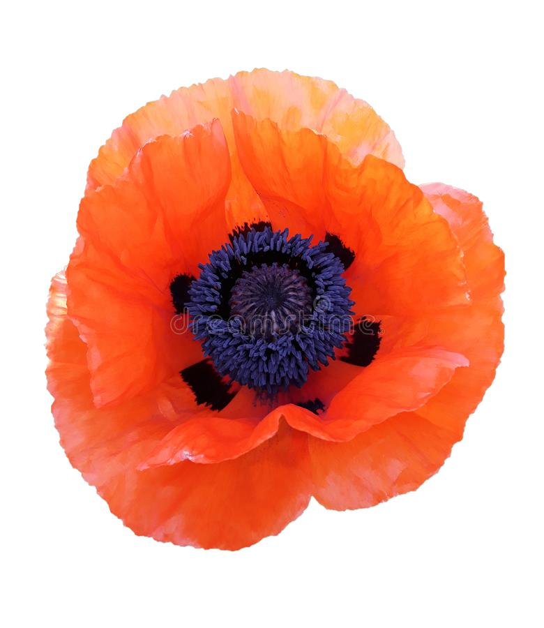 Red poppy flower isolated on white background. Red poppy flower isolated on white, background, field, petal, floral, plant, beautiful, beauty, bloom, blossom royalty free stock images