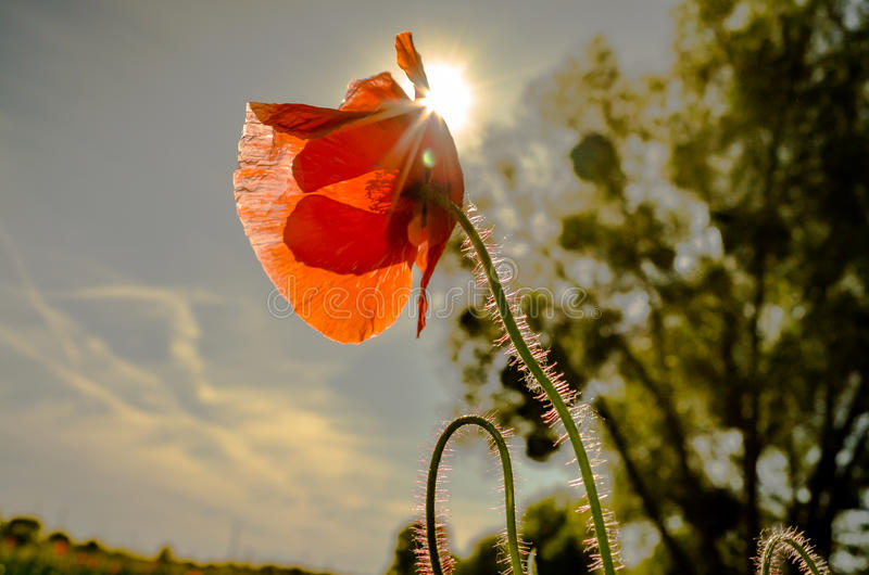 Red poppy flower in nature with starburst royalty free stock photo