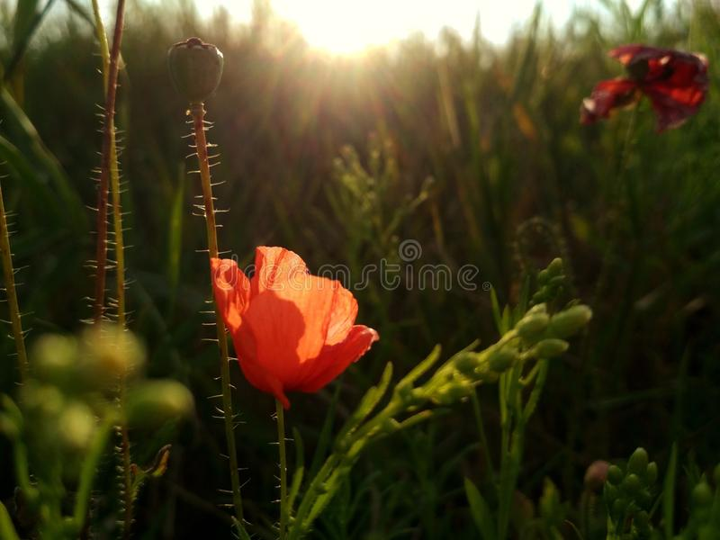 Red poppy flower, sun and green field stock image
