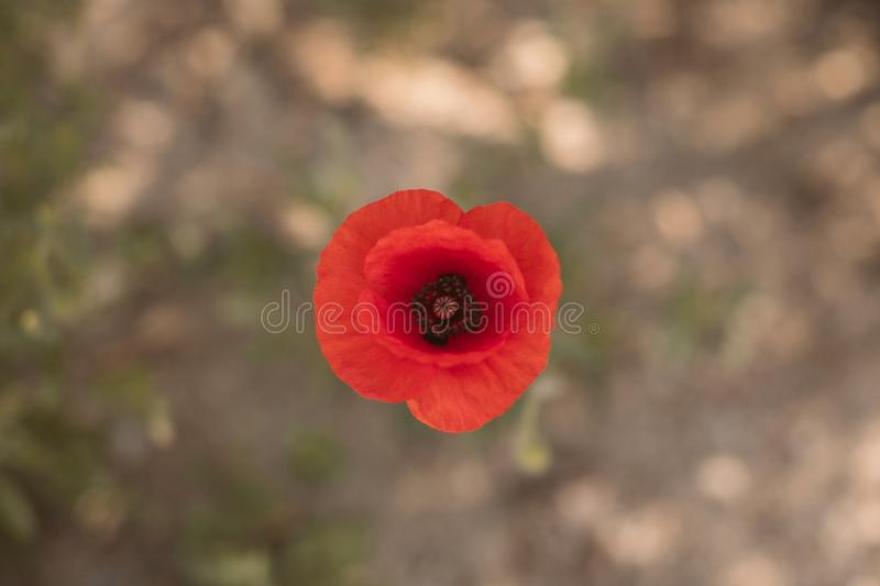 Red poppy flower top view. Close up view of red wildflower. Springtime background stock image