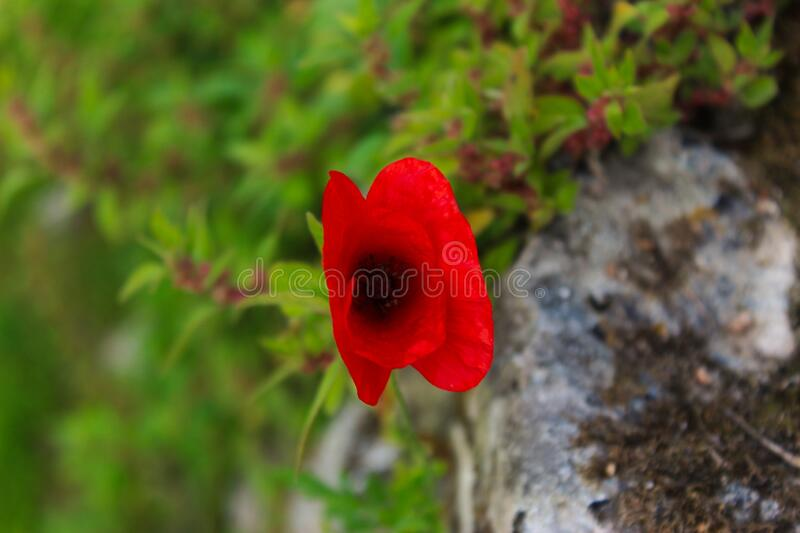 Red poppy flower on the wall. Papaver rhoeas, common poppy, corn poppy, corn rose, field poppy, Flanders poppy, red poppy. Beja, Portugal royalty free stock images