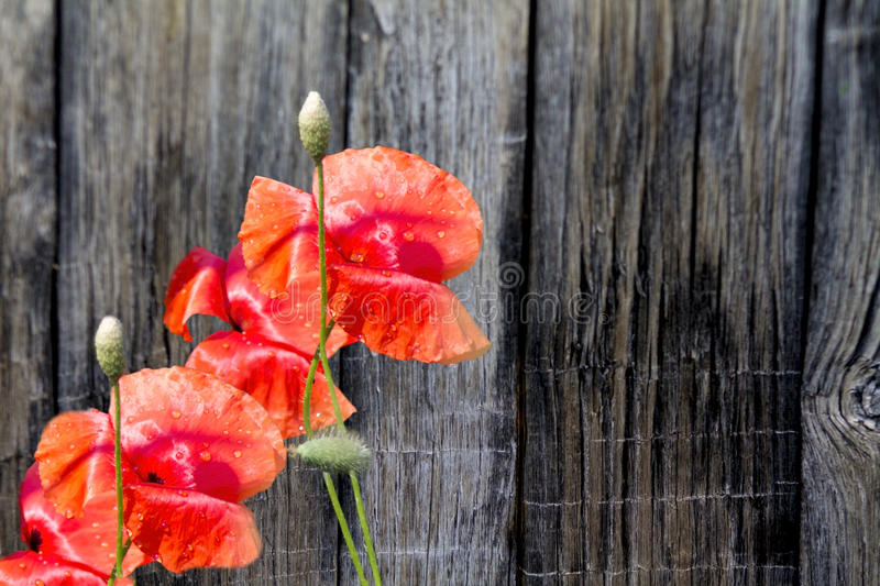 Red poppy flower on the wooden boards. Red poppy flower on the background of wooden boards royalty free stock images