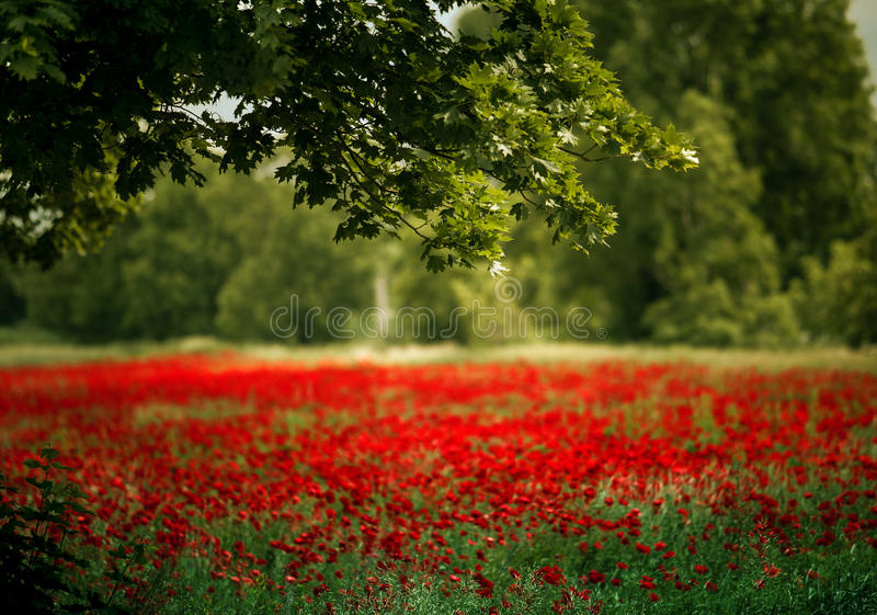 Red Poppy Flowers royalty free stock photo