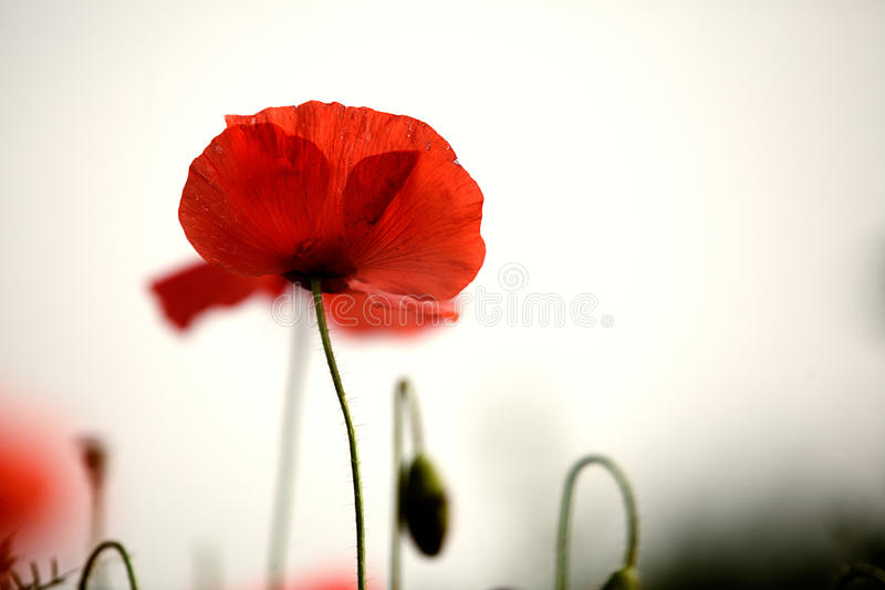 Red Poppy Flowers stock images