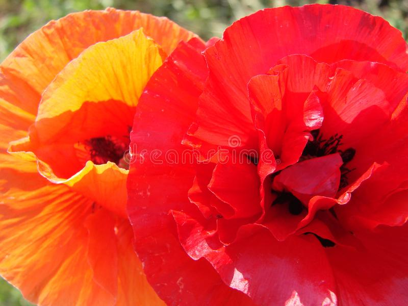 Red poppy flowers against sky. Shallow depth of field. Red poppy flowers against the sky. Shallow depth of field royalty free stock photos