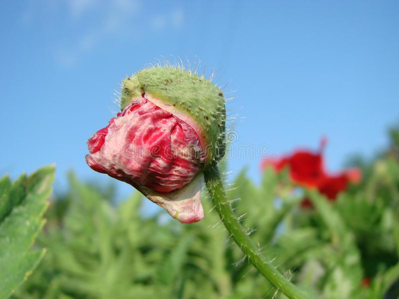 Red poppy flowers against sky. Shallow depth of field. Red poppy flowers against the sky. Shallow depth of field royalty free stock image