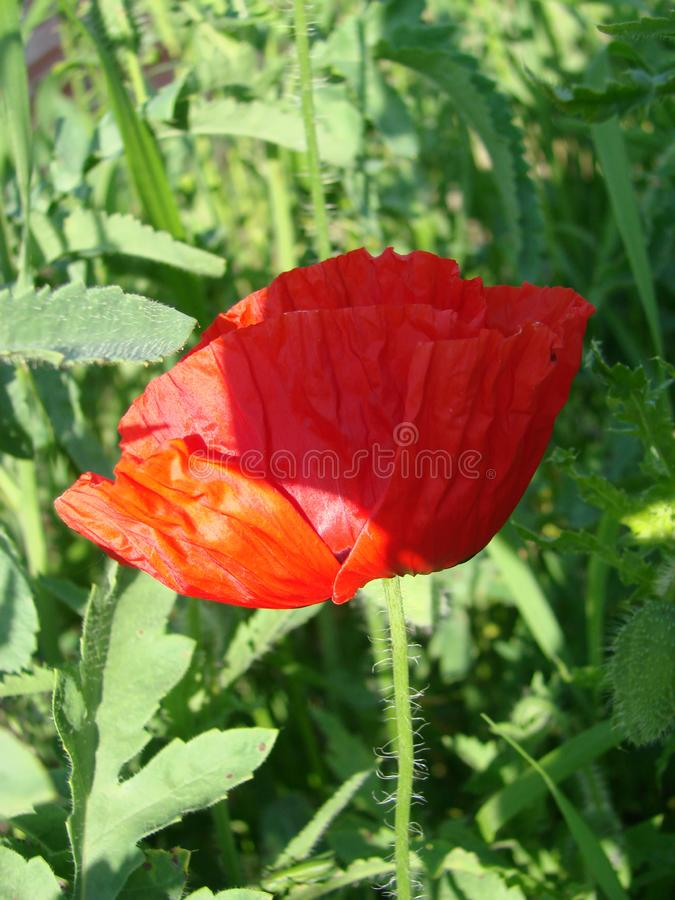 Red poppy flowers against sky. Shallow depth of field. Red poppy flowers against the sky. Shallow depth of field stock photography